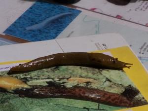 banana, slugs