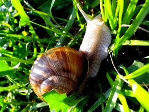 Européenne, jardin, escargot