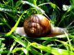 Garden snail in green grass