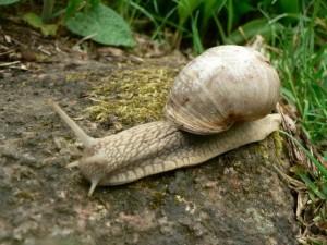 roman, snail