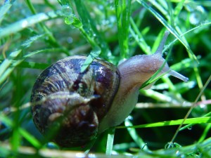 caracol, hierba
