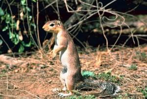 African, ground, squirrel