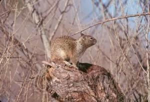 california, ground, squirrel