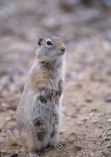 ground, squirrel