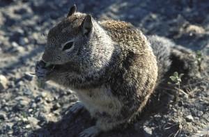 ground, squirrel, mammal