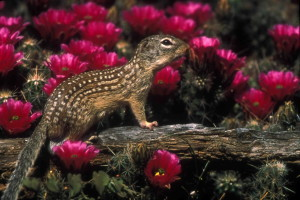 mexican, ground, squirrel