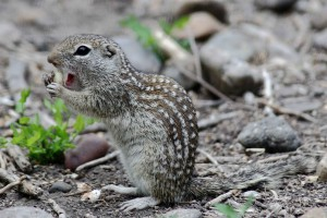 mexican, ground, squirrel, ictidomys, mexicanus