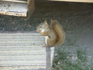 mount, graham, red, squirrel, tamiasciurus hudsonicus, grahamensis