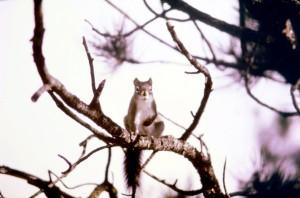 pine, squirrel, tamiasciurus, hudsonicus