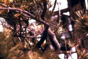 pin, écureuil, Tamiasciurus, hudsonicus, animal, mammifère
