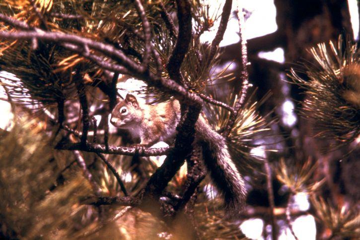 pine, squirrel, tamiasciurus, hudsonicus, animal, mammal
