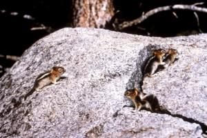 several, western, chipmunks, tamias, cooperi, natural habitat