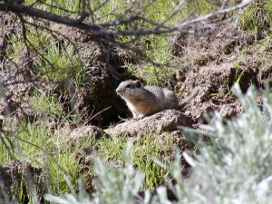 Idaho, ground, squirrel, native, habitat, burrow