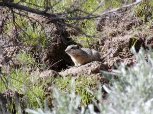 Idaho, jorden, egern, native, habitat, graver sig ned