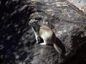 écureuil, animal