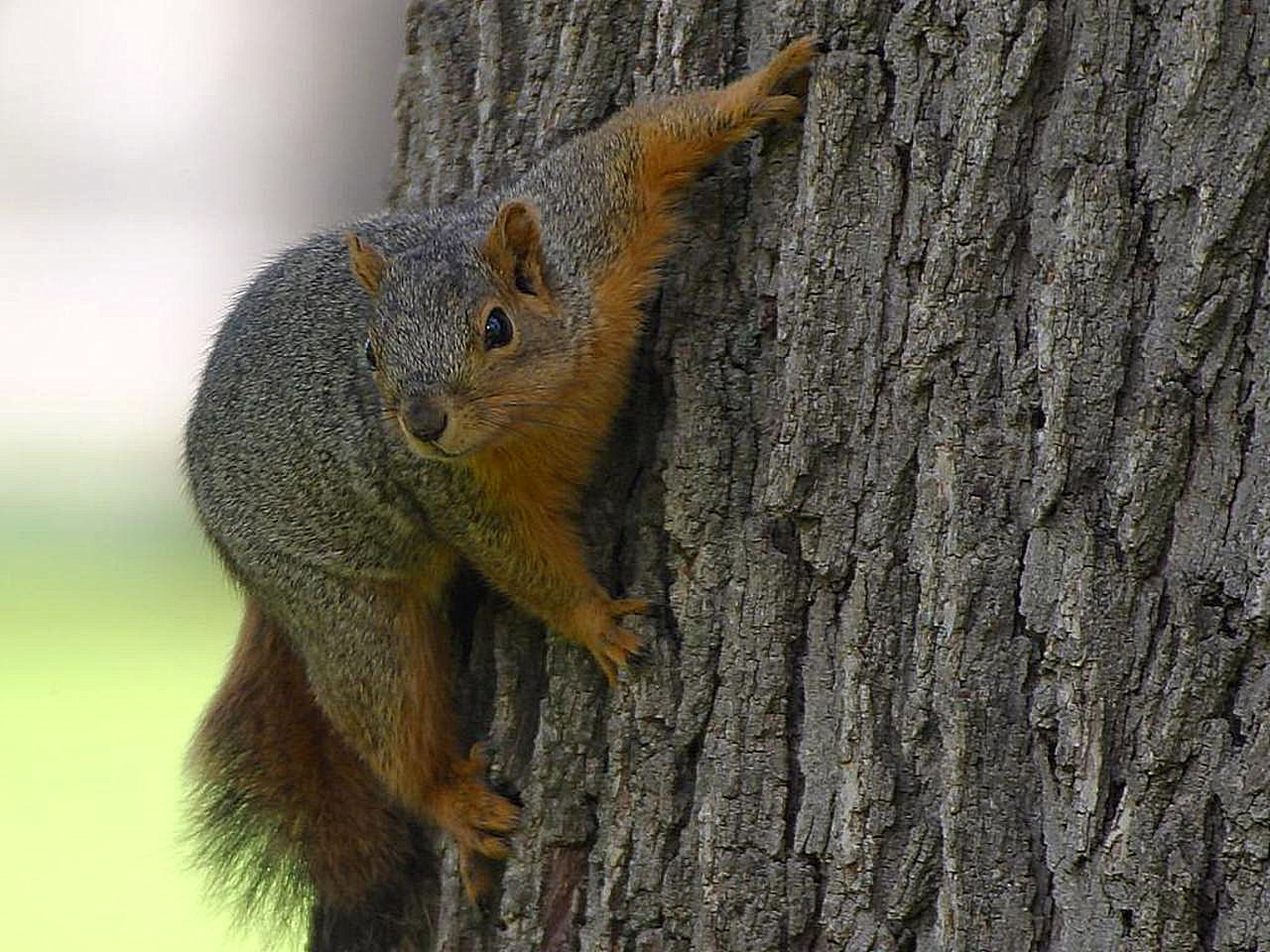 Free Picture Squirrel Tree