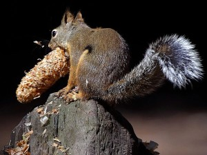 squirrels, eating, tails, pinecones