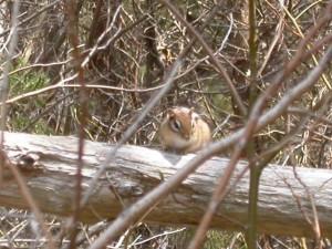 tamias, striatus, chipmunk, mammal, forest
