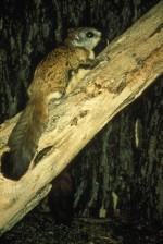 virginia, northern flying, squirrel, tree, glaucomys, sabrinus, fuscus