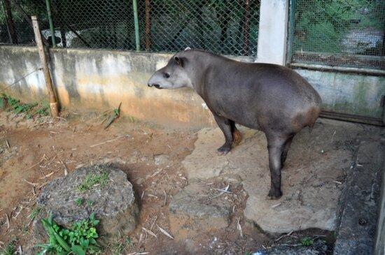 tapir, grande, herbívoro, mama