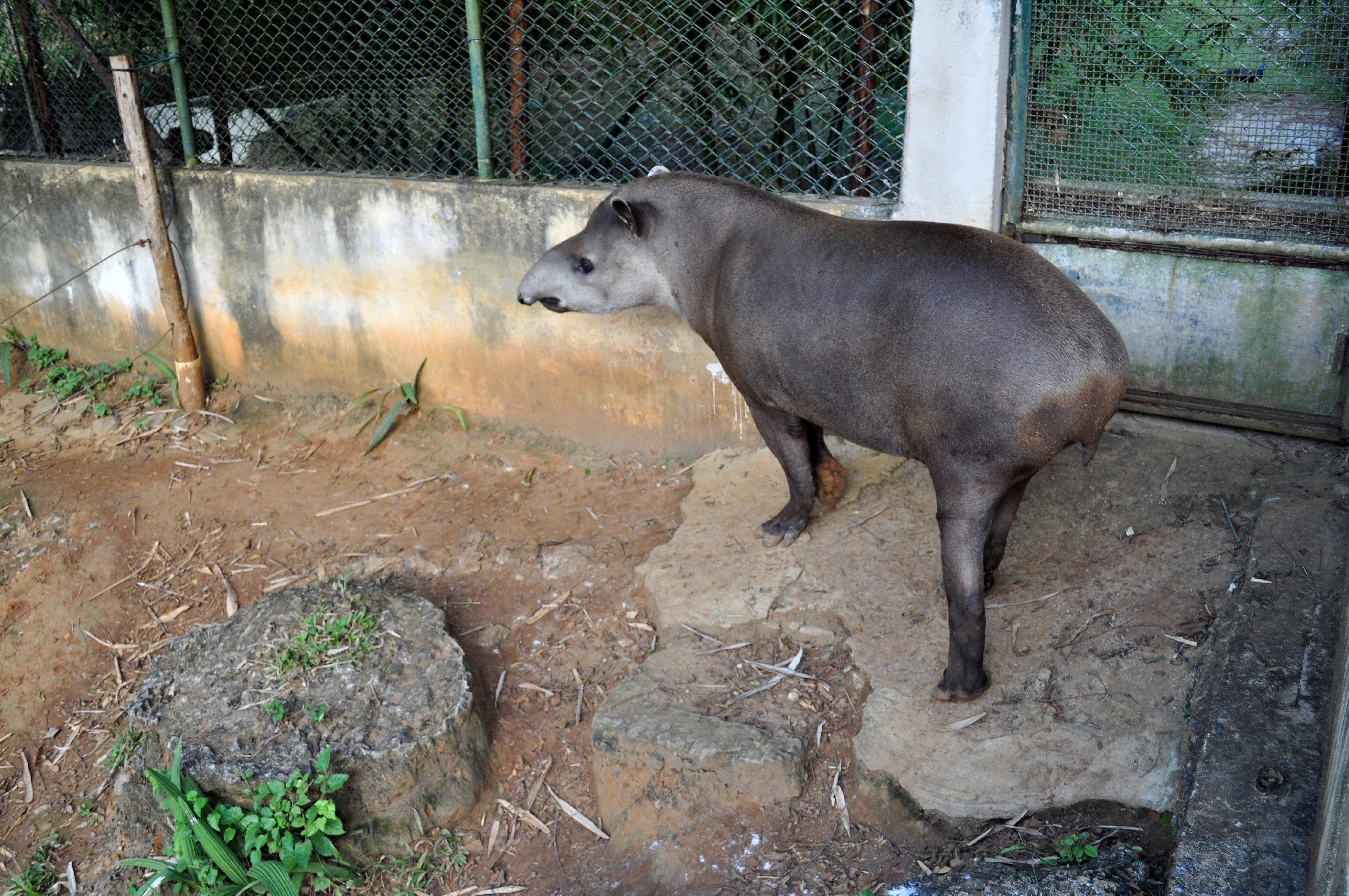 Free photograph; tapir, large, herbivorous, mamma