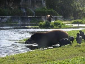 tapir, taking, dip