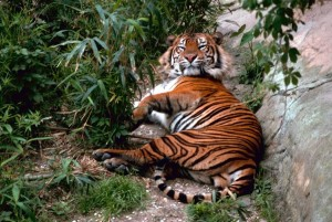 Βεγγάλη, τίγρη