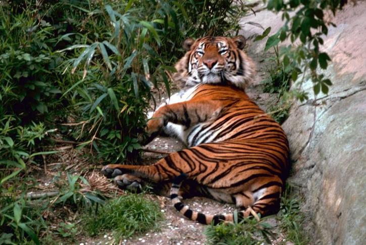 Image libre tigre du bengale - Images tigres gratuites ...