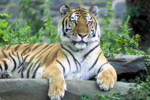 siberian, tiger, panthera, tigris, altaica, mammalia, carnivora, felida