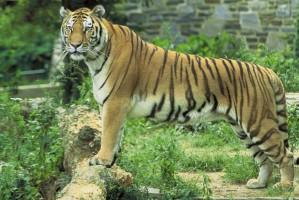 tiger, panthera, tigris