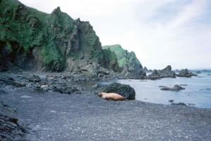 alene, hvalross, stranden, legging