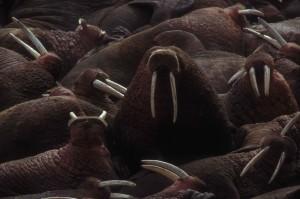 grupo, morsas, odobenus rosmarus