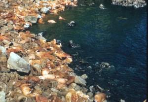 marine mammals, waruses, beach