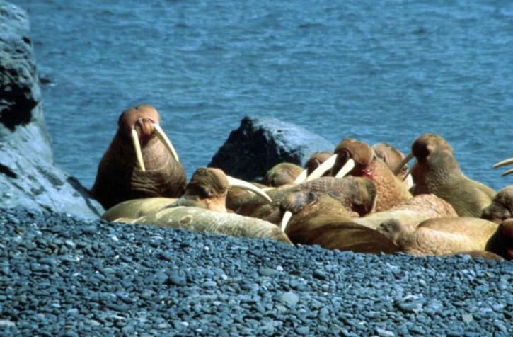 odobenus, rosmarus, walruses, beach