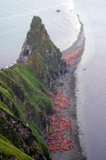 pacific, walrus, round, island, beach