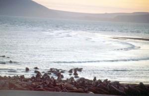 morsa, animales, playa, arena, agua, odobenus rosmarus