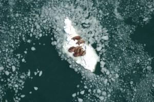 θαλάσσιο ίππο, αγελάδες, ταύροι, ανάπαυση, θάλασσα, πάγου