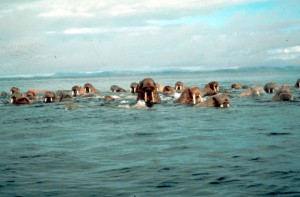 walrus, large, flippered, marine mammals, water, odobenus, rosmarus