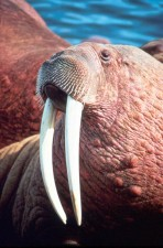 walrus, male, up-close, head, odobenus, rosmarus