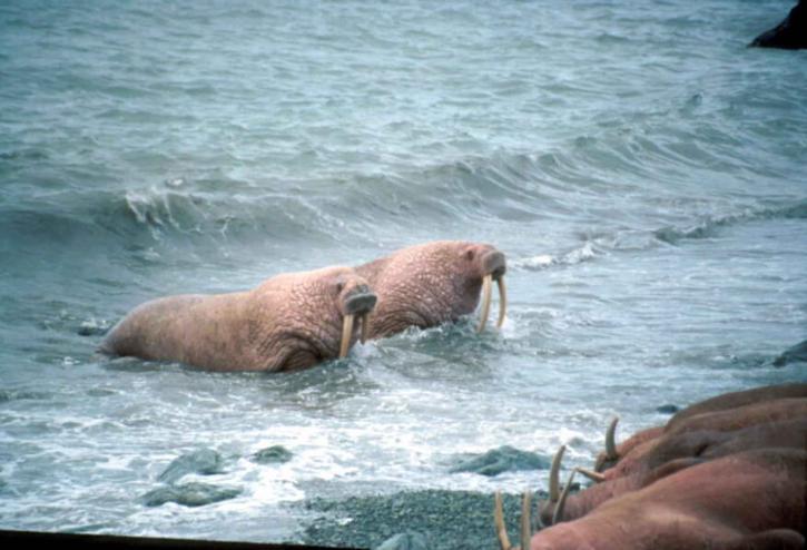 Imagen gratis: morsa, machos, agua
