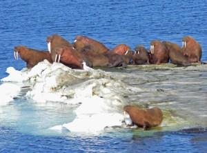 morsa, de Bering, mar, hielo