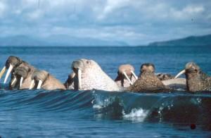 walruses, animals, enjoy, waves, water