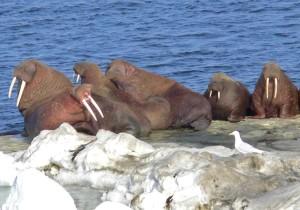 morsas, animales, odobenus rosmarus, hielo, norte de Bering, mar