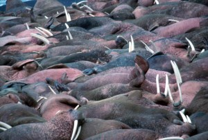 walruses, animals, large, tusks, laying