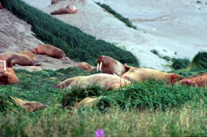 walruses, gathered, together, grass, beach