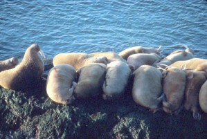 walruses, laying, clinging, small, rocky, shore