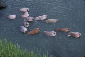 walruses, odobenus, rosmarus, largest, pinniped, marine mammals