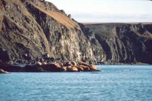 Walrosse, felsig, Küste