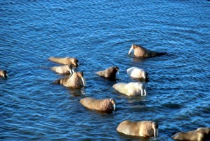 Walrosse, groß, Hauer, Meer, Wasser