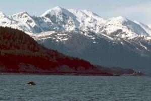 šedivky, velryba, porušení, jihovýchod, Aljaška